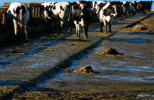 Cows standing in manure while feeding