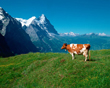 Cow facing mountains